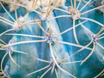 Abstract background of cactus close up. Echinocactus grusonii spineless form. Spine detail of big cactus. Cactus spines.  Royalty Free Stock Photo