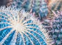 Abstract background of cactus close up. Echinocactus grusonii spineless form. Spine detail of big cactus. Cactus spines.  Stock Photo