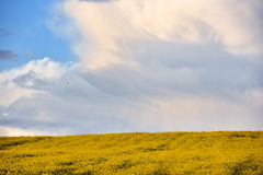 Abstract background of a canola field Stock Photography