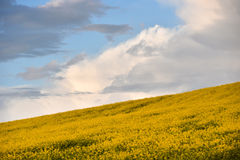 Abstract background of a canola field Stock Photo