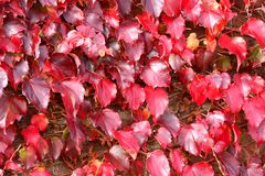 Virginia Creeper ivy in fall stock photo