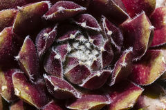 Abstract Background:  Closeup Succulent Flower Stock Photos