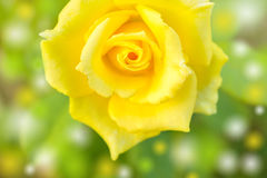 Abstract background and color filter of yellow rose Stock Photography