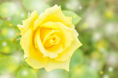 Abstract background and color filter of yellow rose Stock Photos