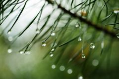 Wet pine tree Royalty Free Stock Photo
