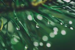 Wet pine tree Stock Photos
