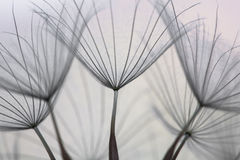 Abstract background of dandelions Stock Image
