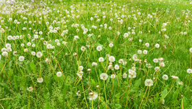 Abstract background. field of dandelions. Stock Images