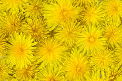 Abstract background of flowering yellow dandelions Stock Photos