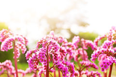 Abstract background of the flowers bergenia Stock Image