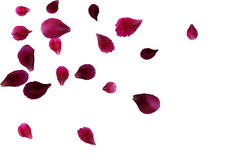 Abstract background with flying pink, red rose petals Royalty Free Stock Image