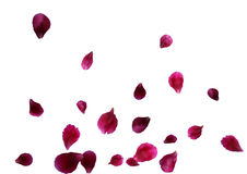 Abstract background with flying pink rose petals. Vector illustration isolated on a background. Stock Photos