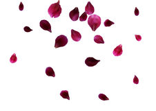 Abstract background with flying pink rose petals. Vector illustration isolated on a background. Stock Photography