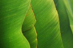 Abstract background formed from banana leaves. Tropical shades of green of overlapped banana leaves, forming an unusual, abstract pattern royalty free stock photo