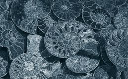 Abstract background of fossil Ammonites, decorative wallpaper of petrified shells, print from white spirals of seashells. Abstract background of fossil Ammonites stock photography