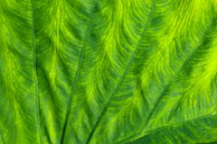 Close up detail of a large green leaf royalty free illustration