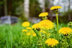 Abstract background with green grass and yellow dandelion flowers or Tussilago farfara.  royalty free stock images
