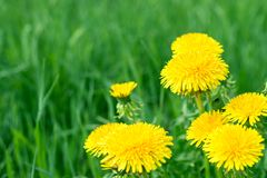 Abstract background with green grass and yellow dandelion flowers or Tussilago farfara.  royalty free stock photos