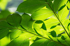Abstract background of green leaves sunlight shines Stock Images