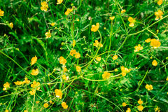 Abstract background of green meadow with small yellow blossoms Stock Image