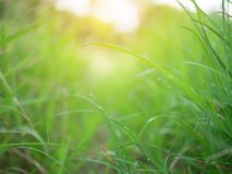 Abstract background of green nature and blurred with sunray. Effect. Grass filed and sunrise in the morning with blur vission stock image