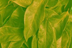 Background of green and yellow tones with laurel leaves. Abstract background of green and yellow tones with laurel leaves royalty free stock images