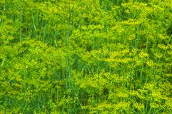 Abstract background of a growing green dill with yellow flowers Royalty Free Stock Photo