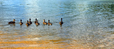 Abstract background of lake surface with ducks floating away. Royalty Free Stock Photos
