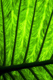 Abstract  background     leaf and his veins in the light Stock Image
