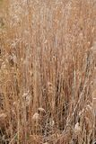 Background of beige old dry rushes. Abstract background of light beige old  dry rushes growing besides lake Stock Image