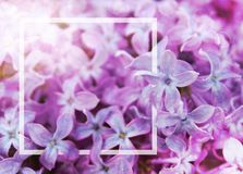 Abstract background of lilac flowers with a white frame. Layout for text royalty free stock photo