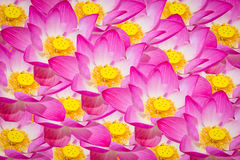 Abstract background of lotus flowers.  Royalty Free Stock Images