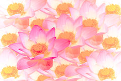 Abstract background of lotus flowers Stock Image
