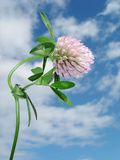 сlover flower with dew drops. Light pink flowered clover (shamrock, trefoil) with drops of water against the blue sky with clouds - close-up Royalty Free Stock Photo