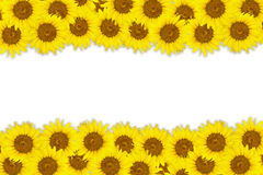 Abstract background made of Sunflowers with white space for text Royalty Free Stock Photos