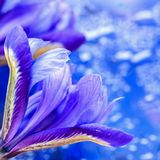 Abstract background in modern halftones with showy picturesque bright iris flower, blurred style. Magical tints of Blue Royalty Free Stock Photography