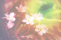 Abstract background overlaid with light of plumeria Stock Image