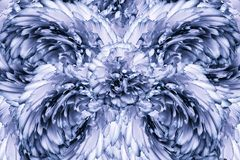 Abstract background of petals of a white-blue clove flowers. Floral background. Royalty Free Stock Image