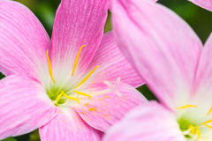 Abstract background of pink flower petals, Zephyranthes rosea, R Royalty Free Stock Images