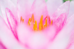 Abstract background of pink water lilly. Macro photography stock photos