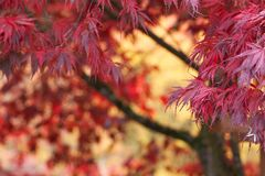 Abstract Background Red Japanese Maple Tree in Fall Autumn Stock Photo
