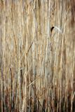 Abstract background of reed Royalty Free Stock Photos