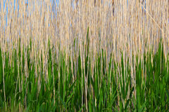 Abstract background of a reed. Royalty Free Stock Image