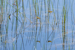 Abstract Background: Reeds and Other Pond Mirrored Reflections Stock Photos