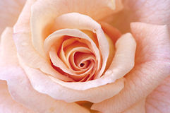 Abstract background of a rose. Royalty Free Stock Photo