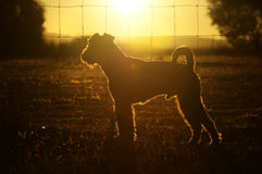 Abstract background silhouette outline dog in sunset country home Australia. An abstract background image of a outline silhouette of an Airedale Terrier dog Stock Image