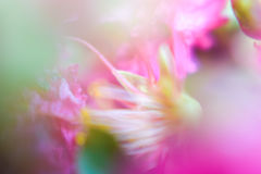 Abstract background silky blurred flowers. Abstract background silky and blurred pink flowers with a macro lens Stock Image