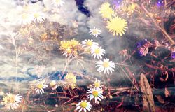 Abstract background. Wild growing dandelions and daises. stock photography