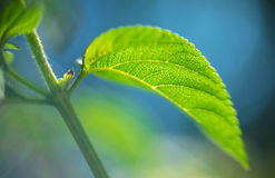 Abstract background  - Soft focus blurred Green leaf plant. Very shallow DOF Stock Image
