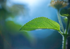 Abstract background  - Soft focus blurred Green leaf plant. Very shallow DOF Royalty Free Stock Photo